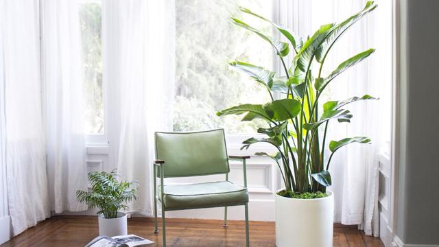 Dekorasi-Rumah-dengan-8-Pohon-Hias-Indoor-Terbaik-cendrawasih
